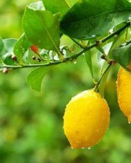 olio-extravergine-di-oliva-con-limone-vitulia #vituliaromatizzatolimone #vituliaromatizzati #vituliaideeregalo #vituliaitalianidiorigine #italianidiorigine #legoccevitulia