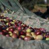 olive harvesting for vitùlia's extra virgin olive oli