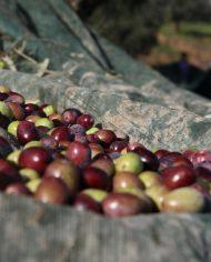 raccolta olive olio extravergine biologico vitùlia