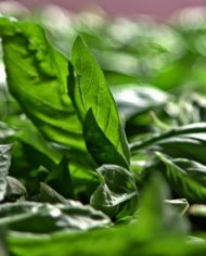 vitulia luxury food. basil leaves from Calabria